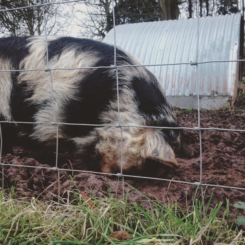 bath pig.jpg