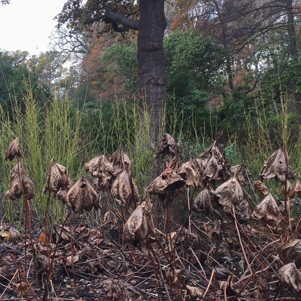 bushy dried .JPG