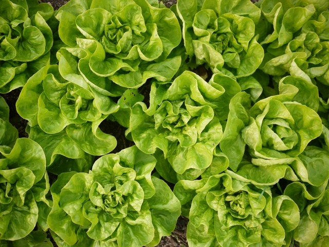 Winter lettuces