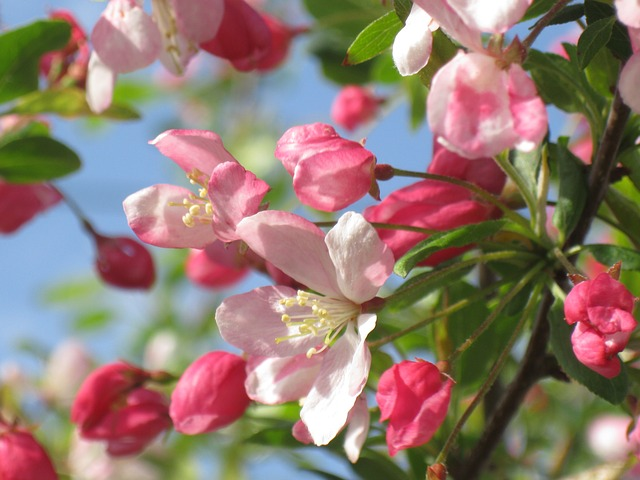 Crab apple flower essence supports purification and cleansing -