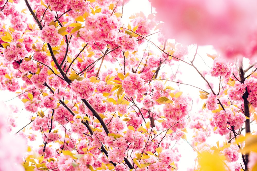 Cherry Blossoms Spring.jpg