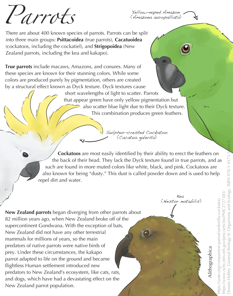 Alithographica Art   -   September 3, 2017  ·     A collection of parrot facts in the memory of Le'a, my mom's 39-year-old Yellow Naped Amazon who passed away this week.