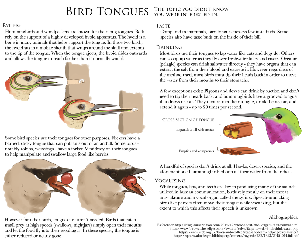 Alithographica Art  -  June 13, 2017  ·     Science Fact Not-Friday: Bird tongues!    Had a wifi outage and then a busy weekend, oops.    Here's a larger version:   http://orig01.deviantart.net/cc9f/f/2017/164/3/d/science_fact_friday__bird_tongues_by_alithographica-dbckg7m.png