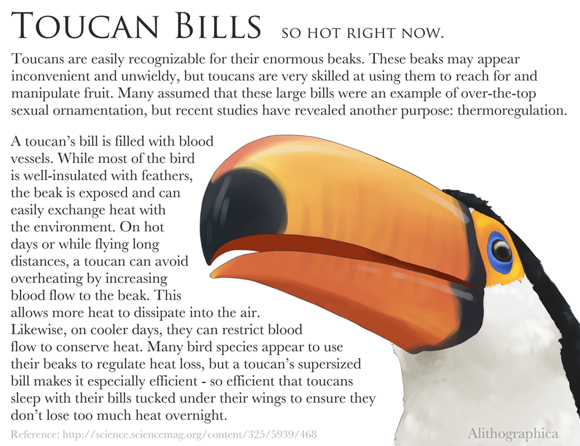"Alithographica Art   -   May 12    , 2017 ·      Science Fact Friday: Toucan thermoregulation!    Pokemon fans might currently be going ""…so Toucannon's Beak Blast?"" Yup. That's why your non-fire bird gets fire attacks anyway.    Image reference:  http://www.activewild.com/wp-cont…/…/2015/02/Toucan-Bill.jpg"