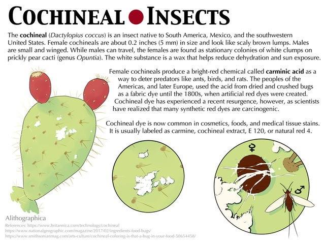 "Alithographica Art  ·  January 12, 2018  ·     So you /may/ have heard that some red dye is made of bugs (though maybe you haven't, so…now you have). But I grew up in Arizona with the bugs themselves so I wanted to give a little more attention to them than the normal ""bugs? in MY food?"" story. In the natural/organic vs. artificial/synthetic fight…this is a natural dye. It's also bugs, though there are no bug parts left by the time it reaches your hands. Unless you eat strictly vegetarian/vegan/kosher/halal or are allergic to cochineal (rare) then it's better for you than the artificial stuff, so thank our bug friends and enjoy your cupcakes/yogurt/sausage/juice/lipstick/etc.  Support Science Fact Friday on Patreon:   https://www.patreon.com/alithographica"