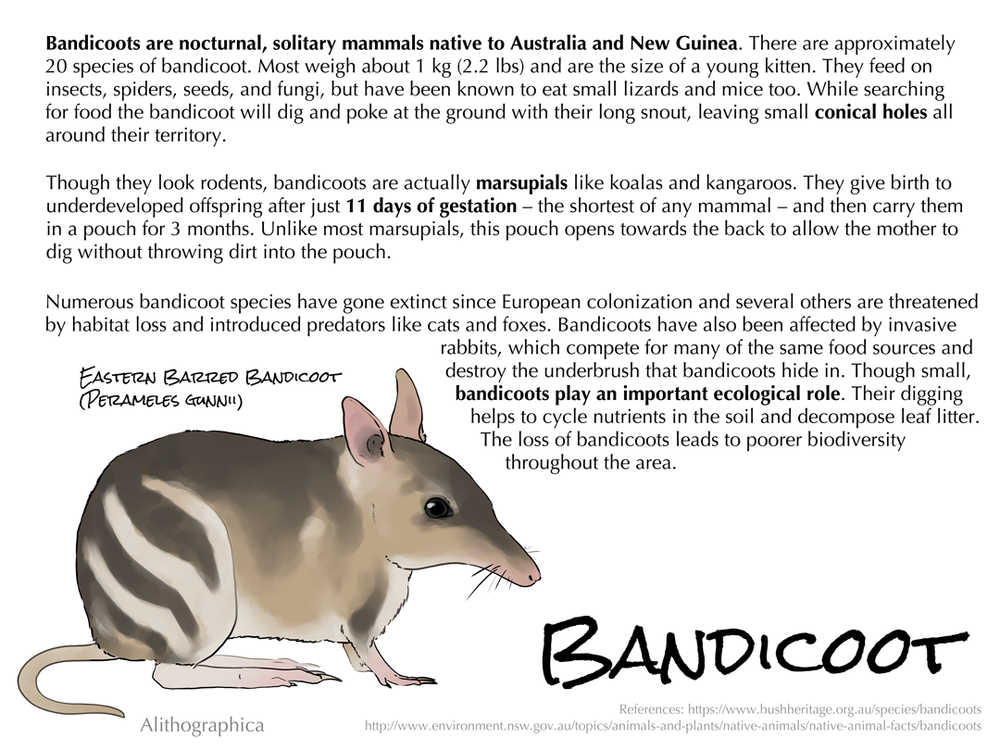 "Alithographica Art  -  January 26, 2018 at 4:33pm  ·     The name ""bandicoot"" is derived from the Telugu ""pandi-kokku"", or ""pig-rat"".    Support Science Fact Friday on Patreon: https://www.patreon.com/alithographica"