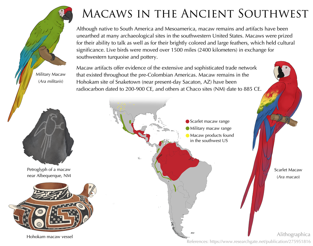 Alithographica Art  ·  March 9, 2018  ·     Science Fact Friday: Something a little more anthropological!  I tend to stick with biology and chemistry because that's where my background is, but my mom is an avian behavioralist/trainer and will be bringing our military and scarlet macaw to an ancient technology event at the Pueblo Grande Museum. She wanted a graphic on macaws being brought up to Arizona and New Mexico, so…here we are.  Support Science Fact Friday on Patreon!   https://www.patreon.com/alithographica