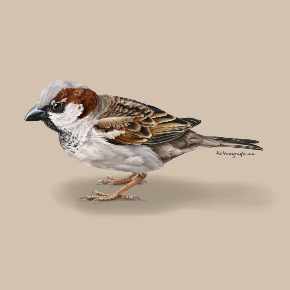 JMD House Sparrow.png