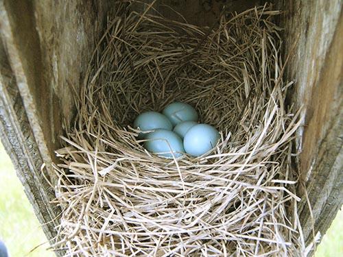 Bluebird nest.jpg
