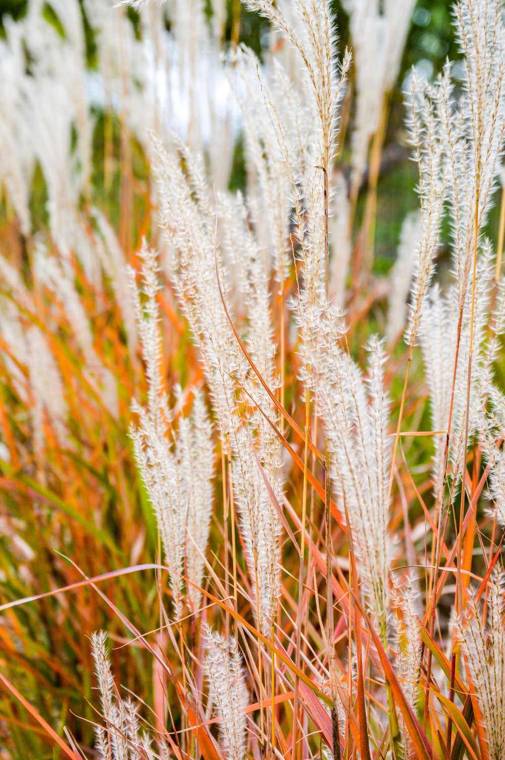 Just a picture of some ornamental grass, but the colors and composition are wonderful. Great job!