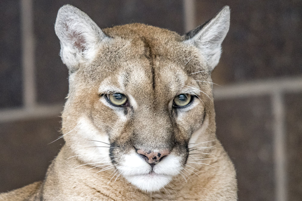 """Though not technically a """"Big Cat,"""" the Cougar is the closest thing that the United States has. It is also a world record holder! There are over 40 different names (in English) that this cat is called...  Puma, Cougar, Mountain Lion, Panther, Catamount, Mountain Screamer, Ghost Cat, and many more.  (Omaha Zoo)"""