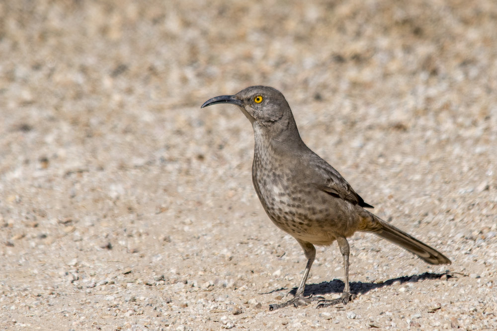 Curve-billed Thrasher (Riparian Preserve at Gilbert Water Ranch)