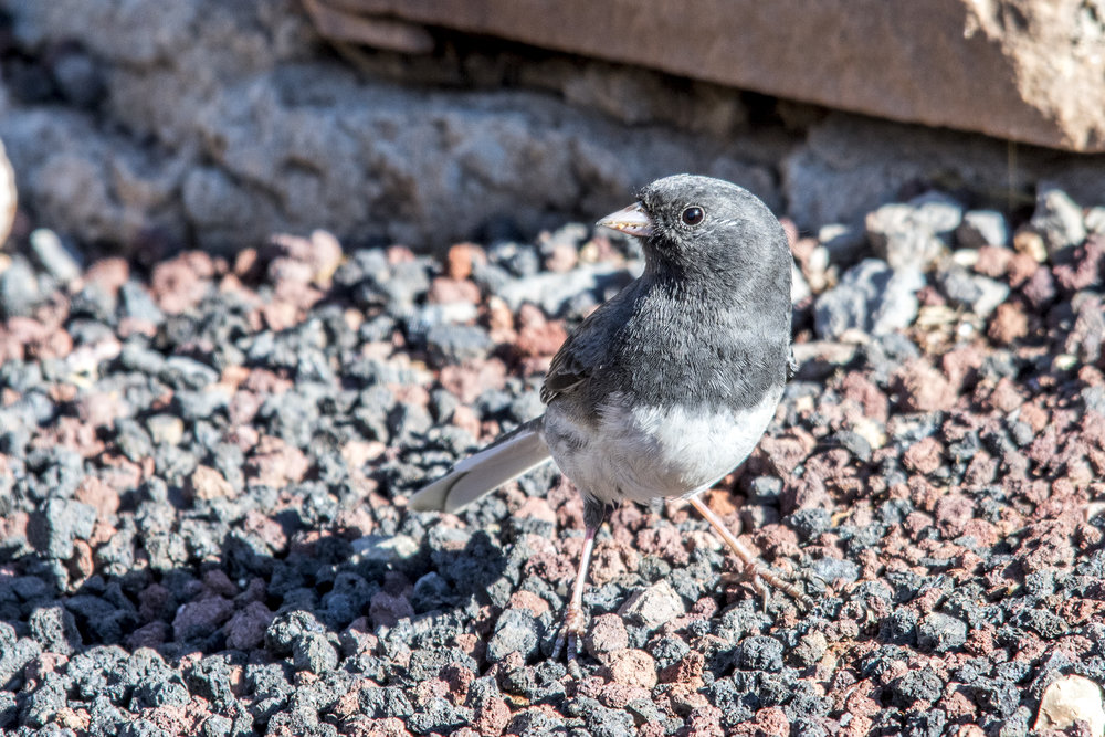 Dark-eyed Junco (Grand Canyon National Park)