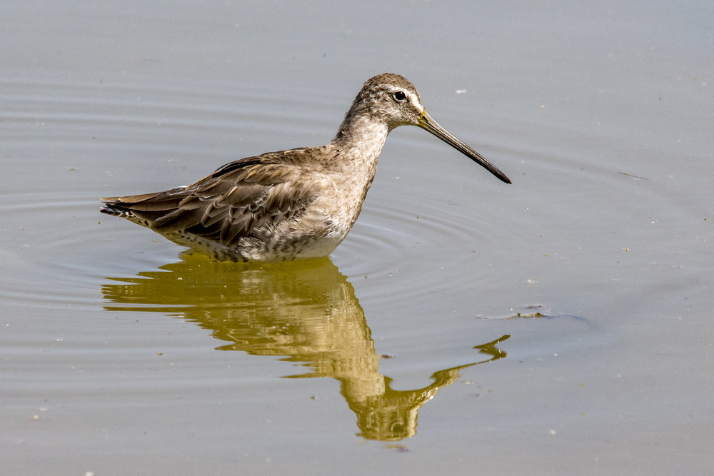 Long-billed Dowitcher (Riparian Preserve at Gilbert Water Ranch)
