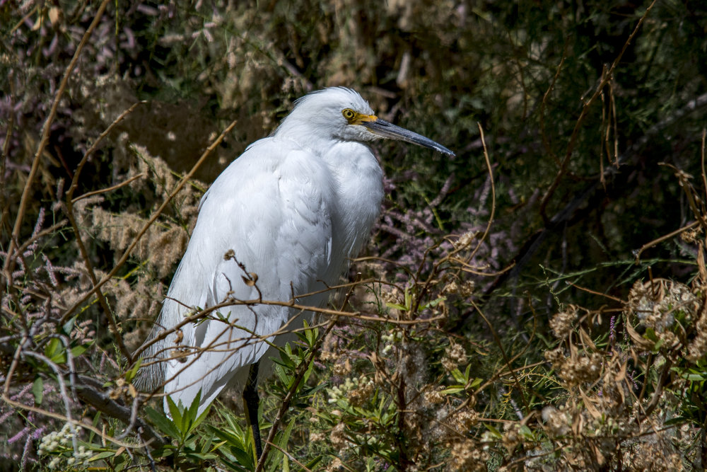 Snowy Egret (Riparian Preserve at Gilbert Water Ranch)