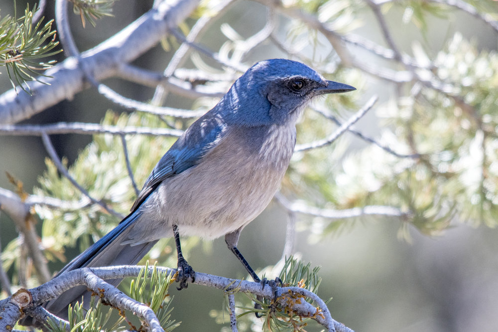 Woodhouse's Scrub-jay (Grand Canyon National Park)
