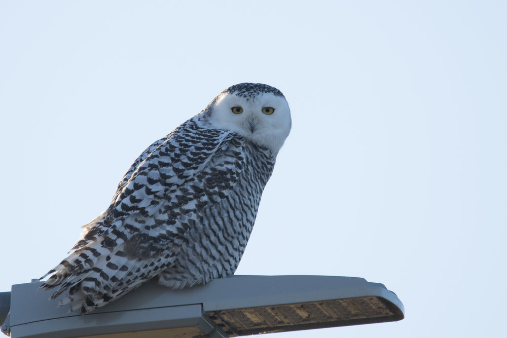 Before and After Snowy Owl (2 of 2).jpg
