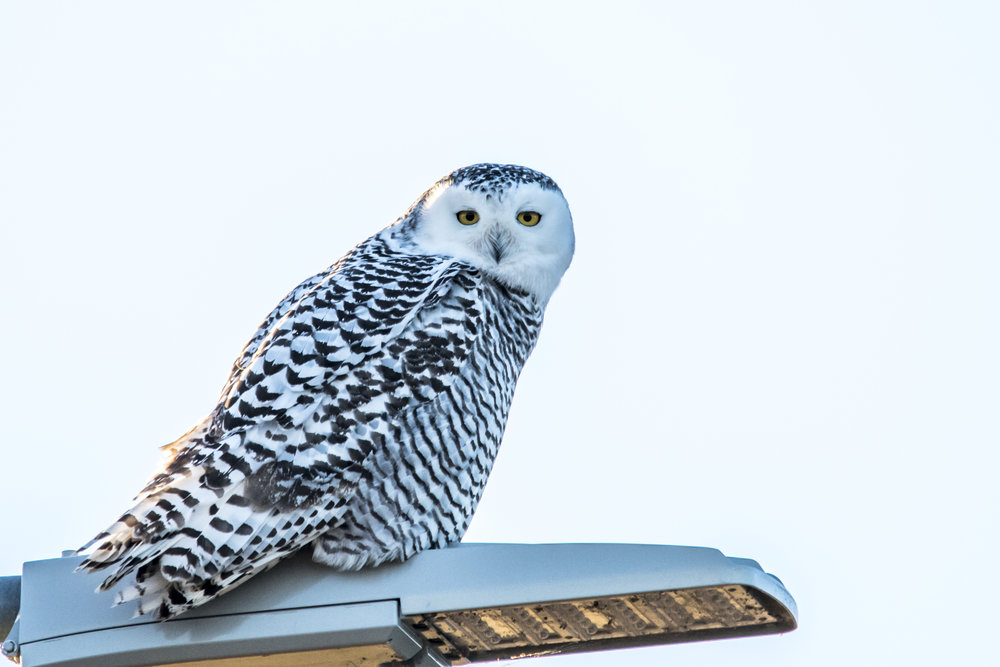 Before and After Snowy Owl (1 of 2).jpg