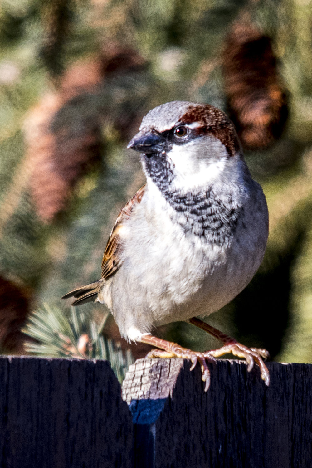 Before and After House Sparrow (1 of 2).jpg