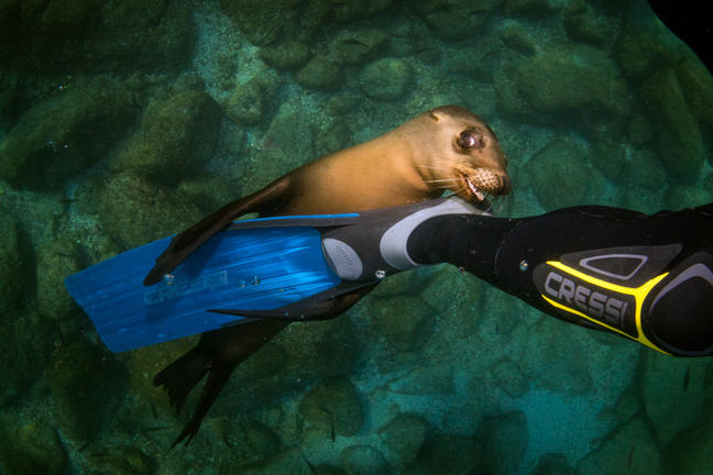 Swimming with the sea lions off Los Islotes