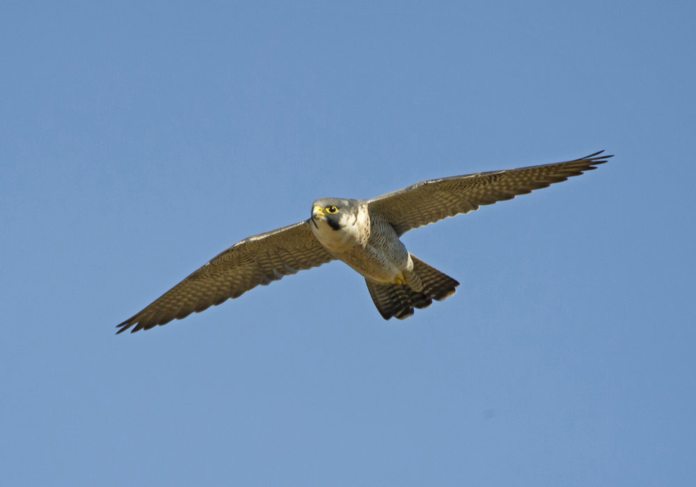 28d. Imvelo Safari Lodges - Gorges Lodge - Peregrine falcon coming into its nest below the lodge - Pic by Brendan Ryan.jpg