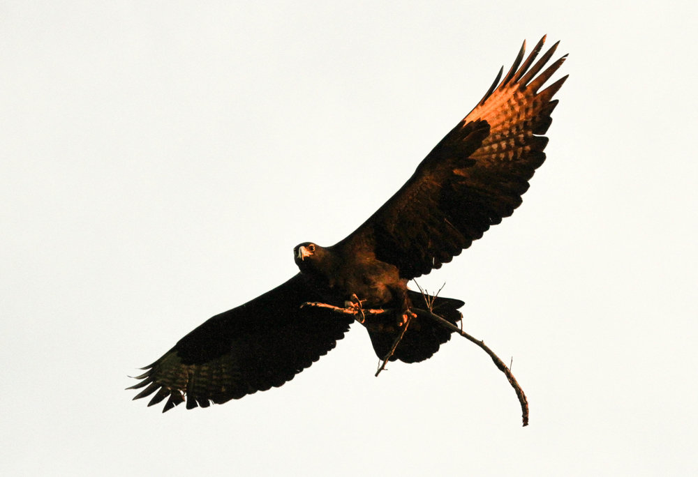 29a. Imvelo Safari Lodges - Gorges - Black eagle courtship by the male has started.jpg