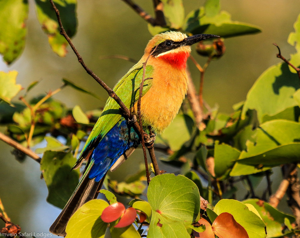 70 - Imvelo Safari lodges - Zambesi Sands - White fronted Bee eater in the mopane.jpg