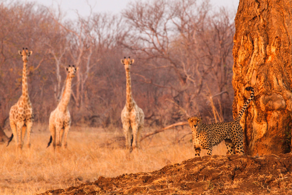 31. Imvelo Safari Lodges - Zambezi Sands - Cheetah scent marking while giraffe look on.jpg