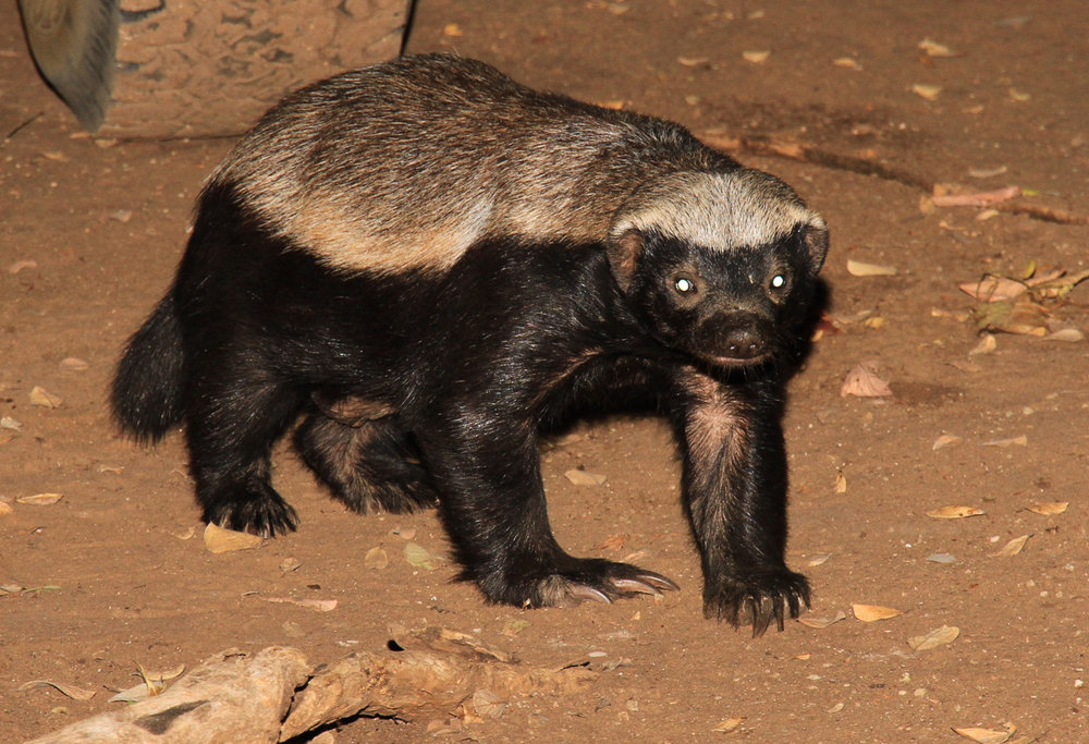 31c - Imvelo Safari Lodges - Zam Sands - Honey Badgers in the kitchen.jpg