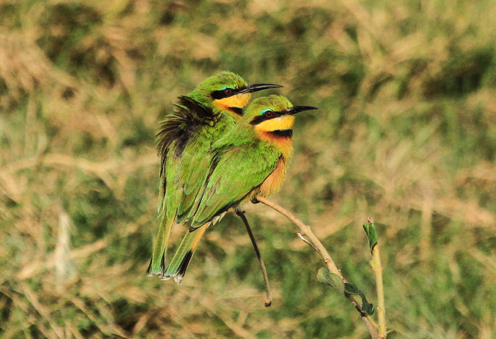 31b- Imvelo Safari Loges - Zam Sands - Little Bee eaters.jpg