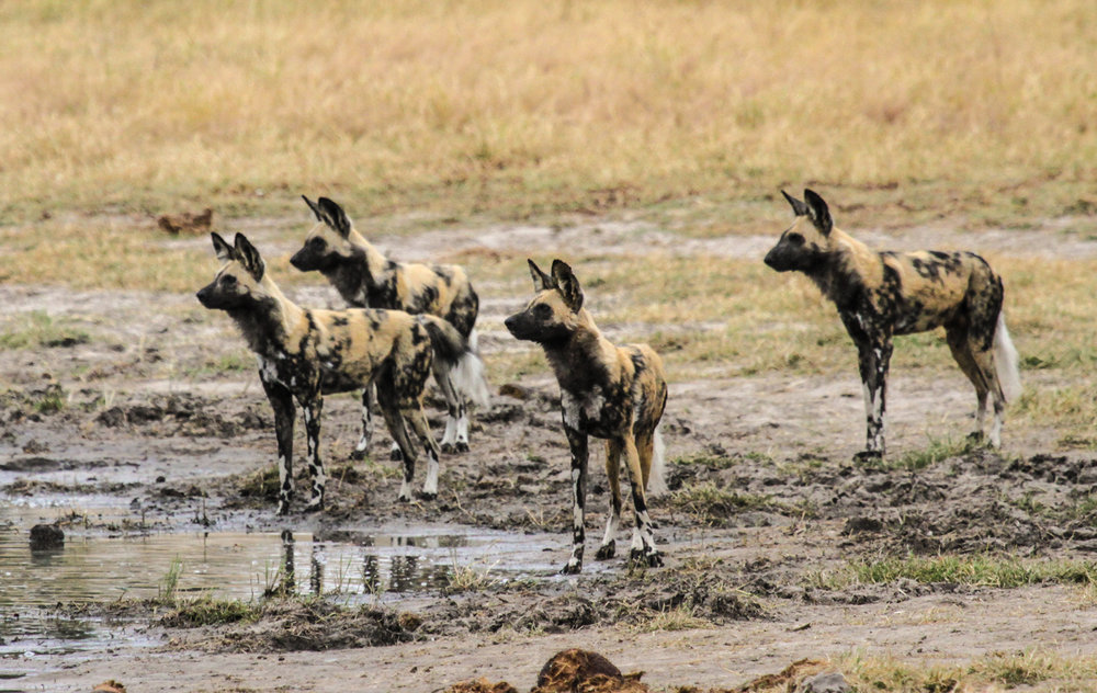 26. Imvelo Safari Lodges - Bomani Tented Lodge - Wild Dog on Ngamo Plains.jpg