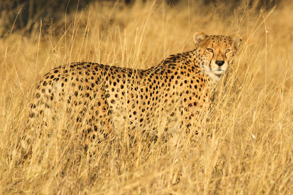 32a. Imvelo Safari Lodges - Bomani Tented Lodge - Cheetah Spotted Near Bomani.jpg