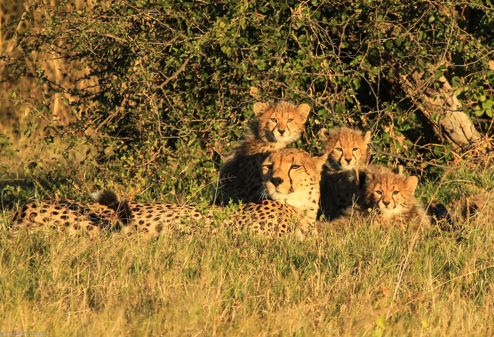32b. Imvelo Safari Lodges - Bomani - Cheetah and cubs.jpg
