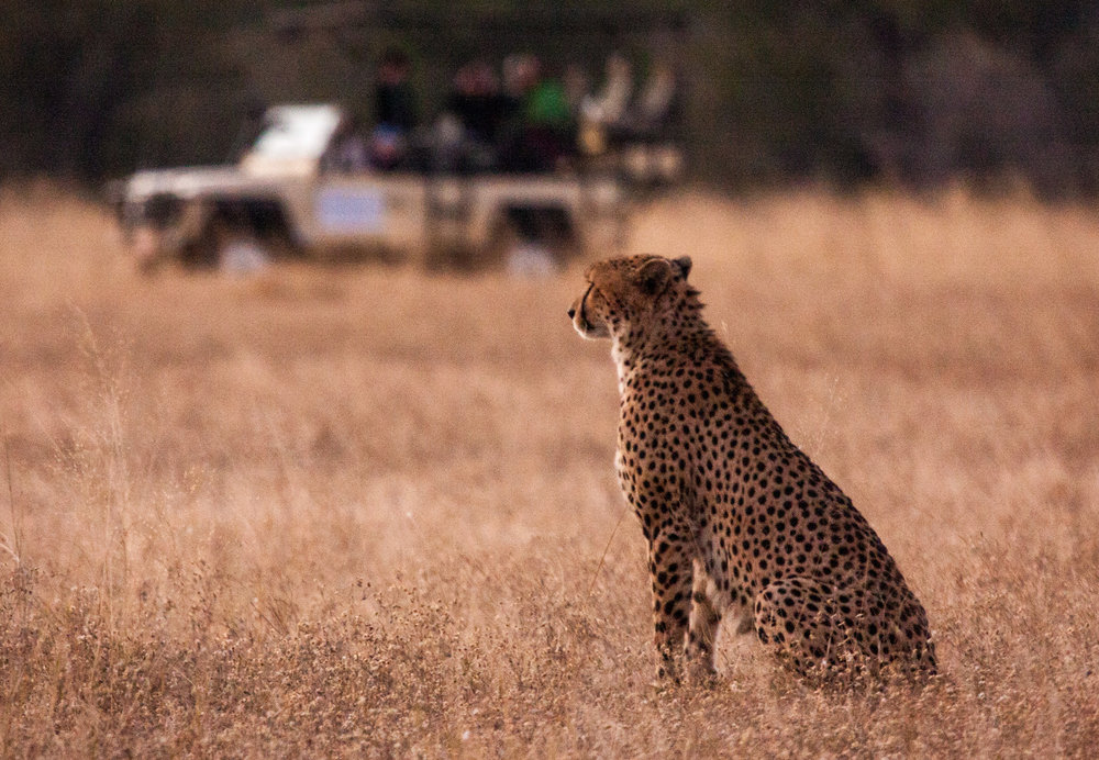 34. Imvelo Safari Lodges - Bomani Tented Lodge - Evening drive with cheetah.jpg