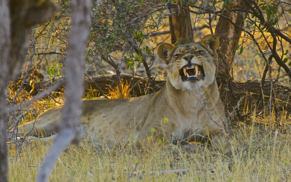 36. Imvelo Safari Lodges - Bomani Tented Lodge - Lioness near Major Pan.jpg