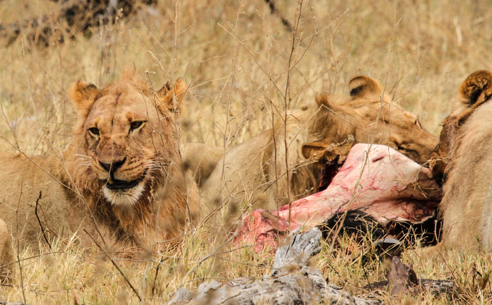 38. Imvelo Safari Lodges - Bomani Tented Lodge - Lion Kill on Ngamo Plains.jpg