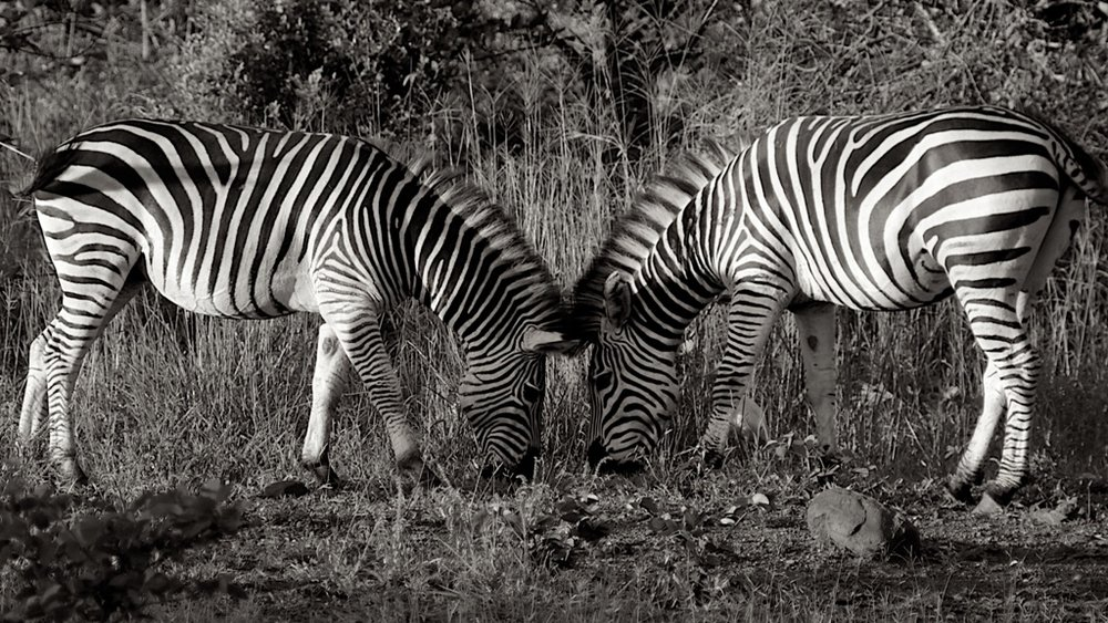 41. Imvelo Safari Lodges - Bomani Tented Lodge - Zebras seen out on patrol.jpg