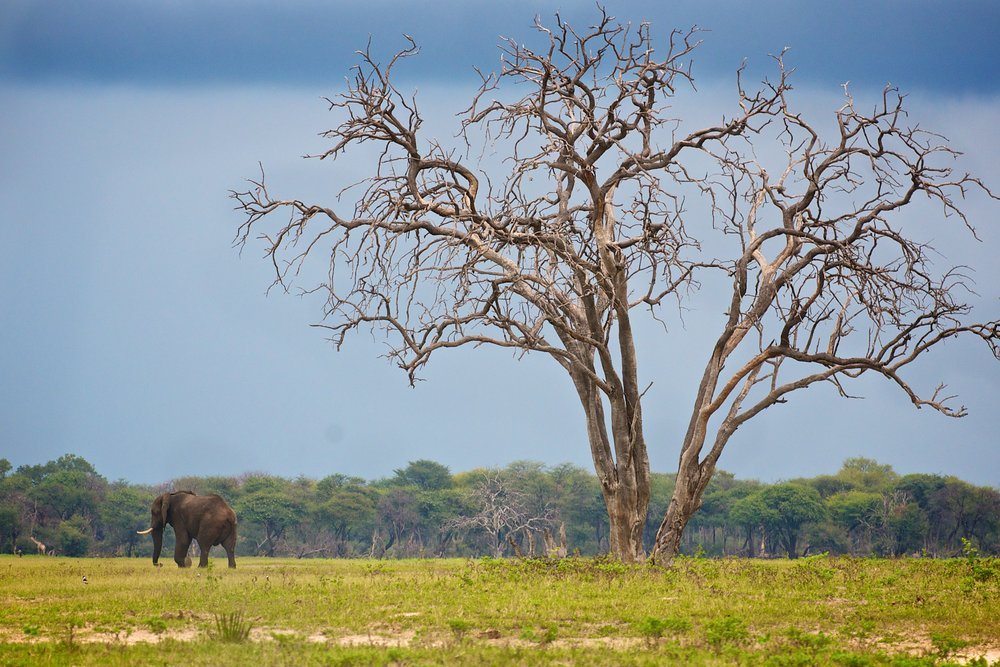 44. Imvelo Safari Lodges - Bomani Tented Lodge -  A lonely elephant wanders the plains.jpg