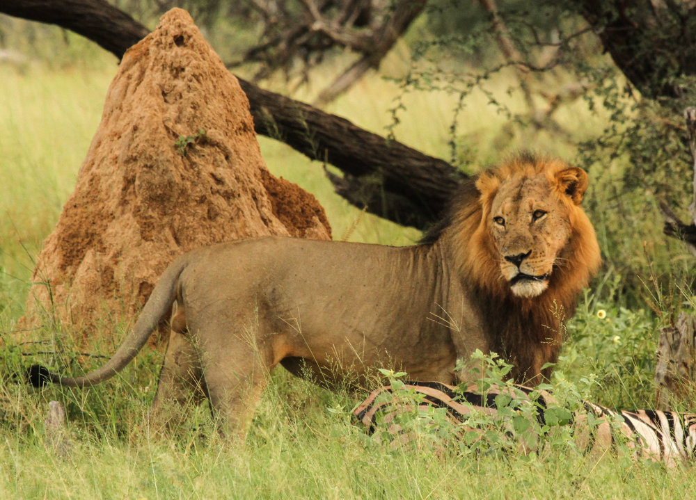 44c. Imvelo Safari Lodges - Bomani - Lion.jpg