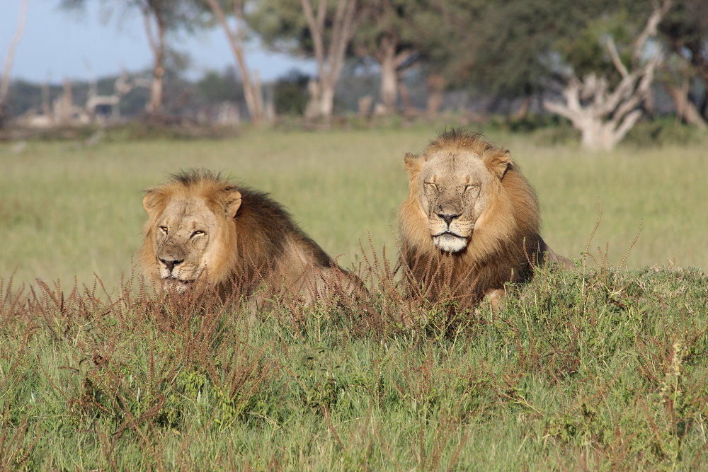 43a. Imvelo Safari Lodges - Bomani Tented Lodge - Male lions on a game drive.JPG