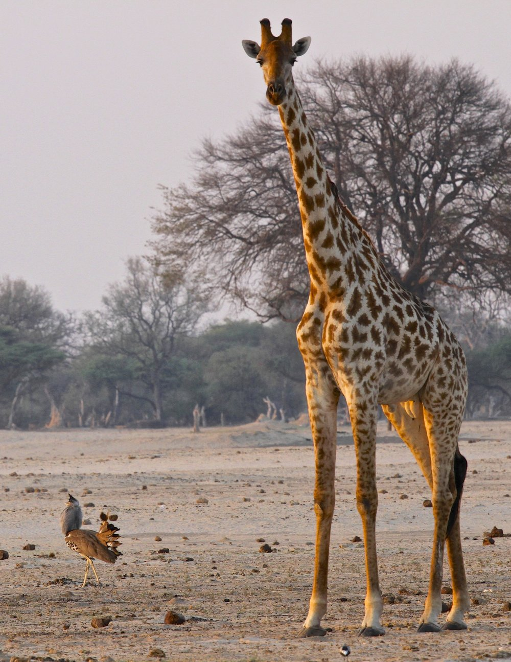 45. Imvelo Safari Lodges - Bomani Tented Lodge - Kori Bustard and Giraffe at Ngamo.jpg