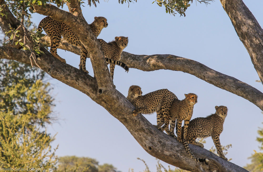 52g - Imvelo Safari Lodges - Bomani - Queenie teaching the benefits of tree climbing.jpg
