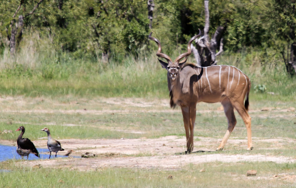 53d - Imvelo Safari Lodges - Bomani - Kudu at the pan.jpg