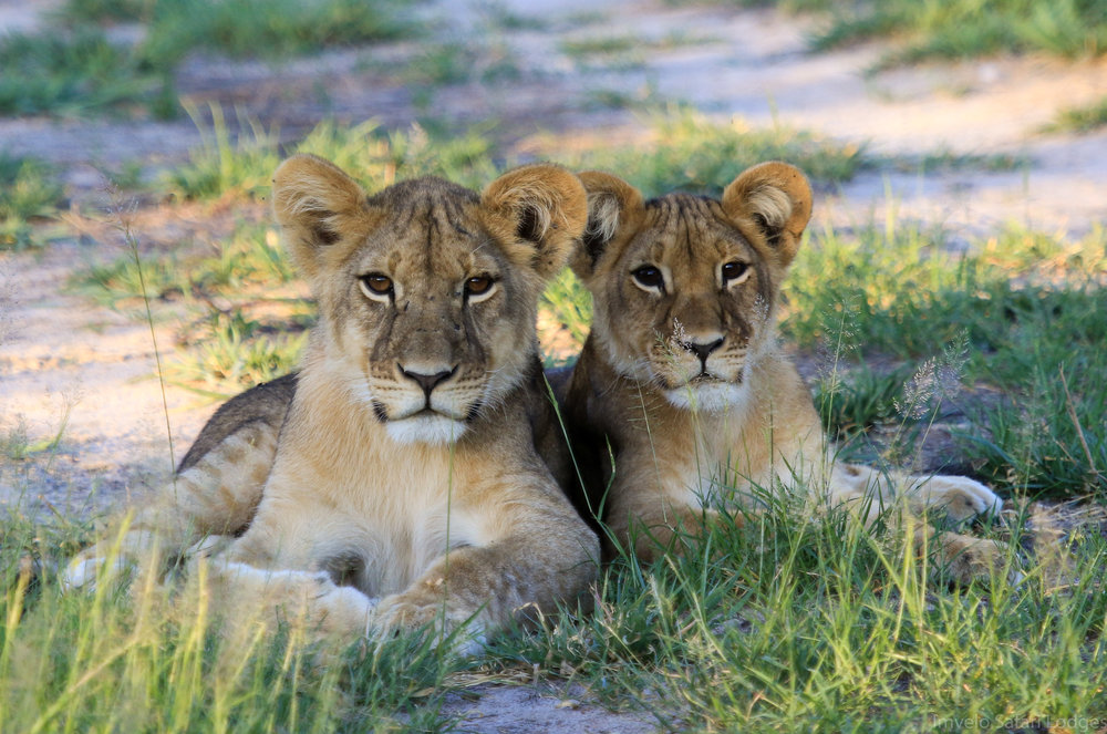 53e - Imvelo Safari Lodges - Bomani - Ngamo prides cubs are a joy.jpg