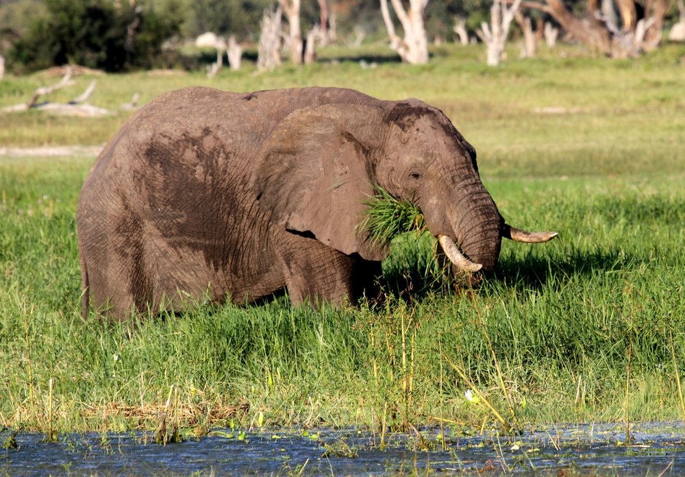 54. Imvelo Safari Lodges - Bomani Tented Lodge- End of the rains our elephant are gorging on panicum grass -.jpg