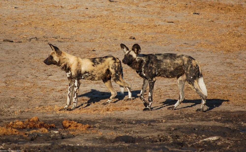 26b - Imvelo Safari Lodges - Nehimba - Wild dogs at Granny_s Pan.jpg