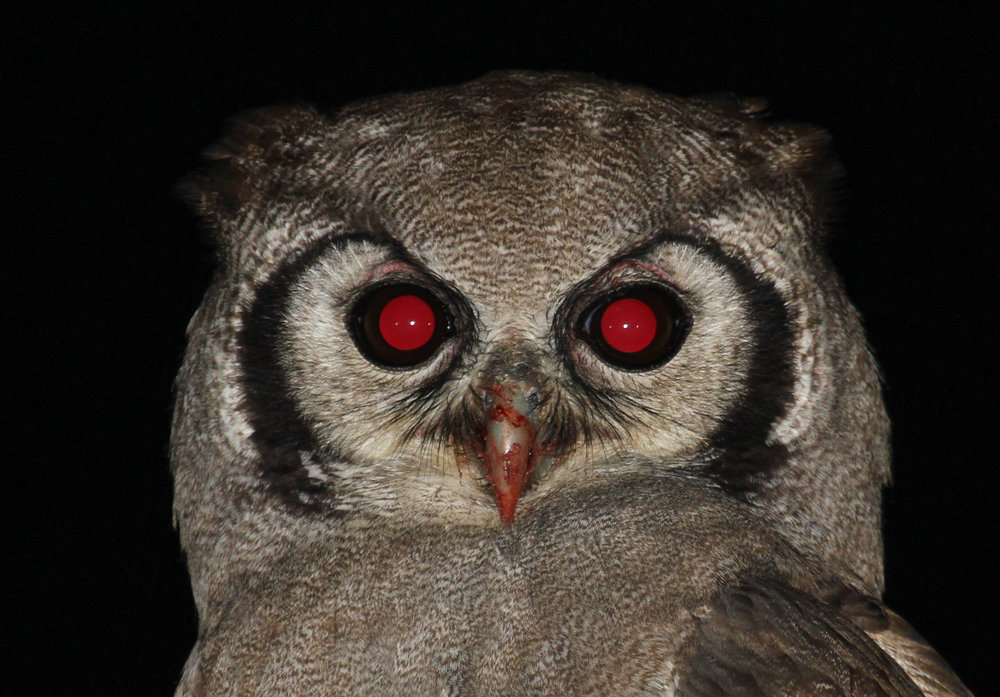 31b - Imvelo Safari Lodges - Nehimba - Verreaux_s Eagle owl - bloody and red eyed ).jpg
