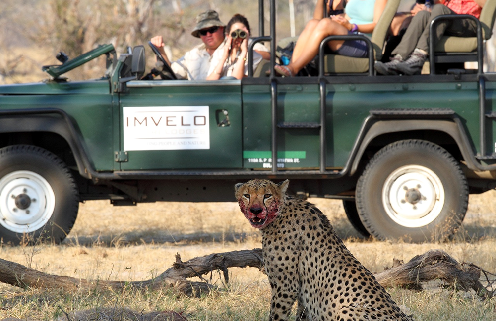 27a - Imvelo Safari Lodges - cheetah on a kill.png