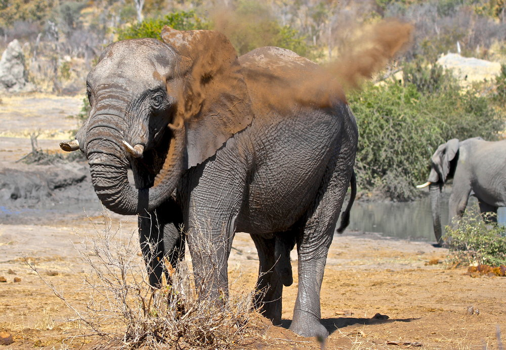 29. Imvelo Safari Lodges - Bomani Tented Lodge - Elephant dust bathing at Mpisini Pan.jpg