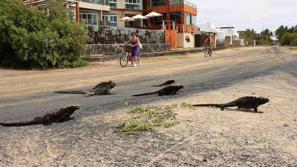 iguana-crossing-iguanas-cruzando-playa.jpg
